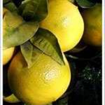 frutto Bergamotto